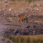 Tiger subadult
