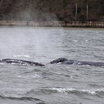 Two whales, side by side. Photo is the property of Lee Sprecace Clark