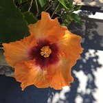 One of the lovely hibiscus by the pool