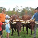 Meeting the oxen
