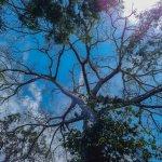 100+ yrs old Cieba Tree