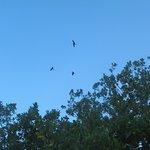 Le vol gracieux des frégates ...