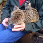 Lemur and meerkat experience, up close and personal
