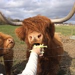 Heather and Katie Morag - the cutest cows in the world