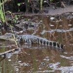 6' Gator on surface