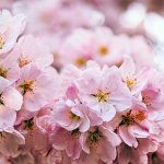 April cherry blossoms