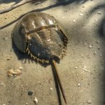 horseshoe crab's shell