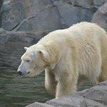 Active Polar Bears - Cincinnati Zoo and Botanical Garden