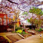 Fayetteville Square Cherry Blossoms