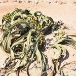 Photo of Welwitschia Plains, A Scenic Drive