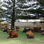 Cows, Old Kingston Town, Norfolk Island