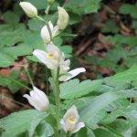 Die Orchidee des Jahres 2017 : Weißes Waldvöglein - zu finden Nähe Hotel im Waldbereich