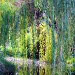Weeping willows and their reflections in a pool