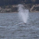 Gray whale near Whidbey Island