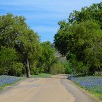 Bluebonnets on both sides of the road