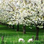Saugatuck area orchards