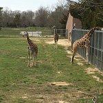 Young giraffes!