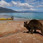 Pademelon at Hazards Beach