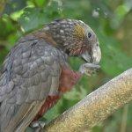 zealandia bird
