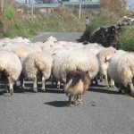 Some local traffic on the slea head drive