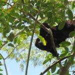 Howler monkey at Lamanai