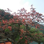 The rice flower trees along the road to the temple, only blossom during the spring