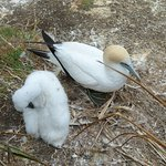 Muriwai gannet colony - adult and chick