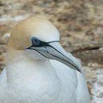 Gannet - up close