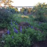 Bluebonnets are plentiful on the grounds