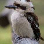 Kookaburras laughing at sunset - resounds across the valley. Come and hear it for yourself!