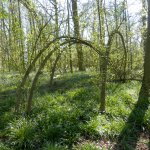 Coughton Court bluebell wood