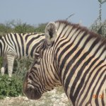 large herd of zebra very close to the car