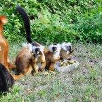 Les lémuriens viennent diner