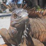 tame iguana - banco chinchorro