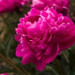 Peonies for sale at Brooks Gardens, Oregon peony farm. Visit in May.