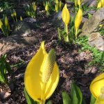 Arum in early spring