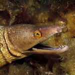 Purple-Mouthed Moray Eel