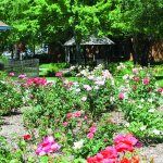 Stroll the Museum's Territorial Memorial Rose Garden of 200-plus varieties. Part of a 4-acre cam
