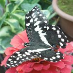 Giant Swallowtail (U.S., Central/South America)