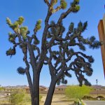 The other one of the 2 huge Joshua trees at the backside of the Hotel.
