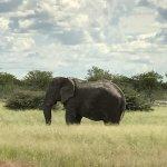 An old bull elephant enjoying the day at Etosha..