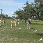 A few of the hundreds of zebras we saw at Etosha.