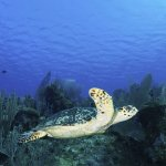 Turtles on every dive