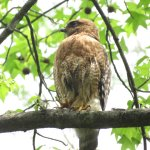 Red-shouldered hawk that was nesting in the garden