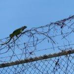 Green Iguana -Tortuguero Canal Costa Rica