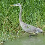 juv Great Blue Heron-Tortuguero Canal Costa Rica