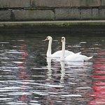 Beautiful swans in the neighbourhood