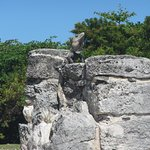 Another iguana in the ruins