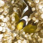 Juvenille Clownfish
