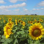 """Sunflower State """"Haven"""" beauty......"""
